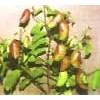 5-HTP ---- Griffonia simplicifolia Extract