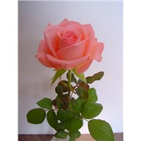 fresh cut flower-rose #2112