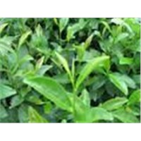 Green Tea Extract and other hundreds of plant extract