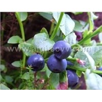 Bilberry P.E. 15%,25% Anthocyanidins