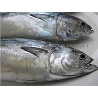 Frigate, Bonito, Mackerel Tuna,Tulingan