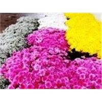 fresh cut flowers -Gibsofilia & Chrysanthemum