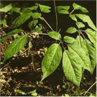Panax Ginseng Leaves Extract