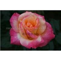 big flower rose