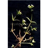 Nettle Extract (3,4-Divanillyltetrahydrofuran)