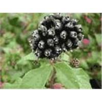 Siberian Ginseng Extract Eleutherosidesb+e 0.8% 1.0%,2.0%