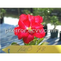 Exotic Adenium Double Flower - Neo-Doxon #098