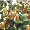 Griffonia Simplicifolia Extract (5-HTP)