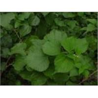 3,4-Divanillyltetrahydrofuran (Nettle Root Extract)