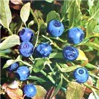 Chinese Bilberry P.E 10-25% Anthocyanidin