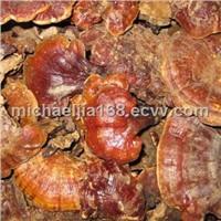 Lucid Ganoderma Extract