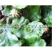 Marchantia Polymorpha P.E
