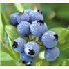Blueberry Extract (Anthocyanin, Arbutin)