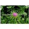 Milk Thistle Extract (Silymarin 80%)