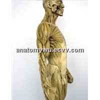 Human Musculoskeletal Model 60cm