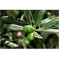 Olive Leaf Extract 10%20%30%35%