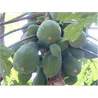 Common Floweringquine Fruit Extract