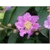 Banaba Leaf P. E. --Huir