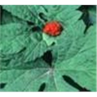 Hydrastis Canadensis L. Extract