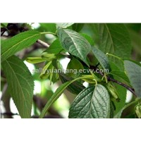 Eucommia Leaf Extract 25%