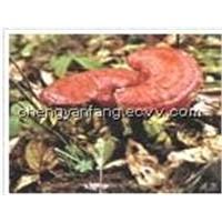 Reishi Mushroom P.E.