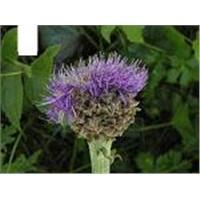 Rhaponticum Carthamoides Extract