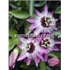 Passion Flower Extract 2% 3%4% Flavone