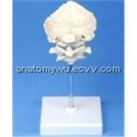 Atlas, Axis and Occipital Bone (SE/J717)