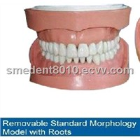 Sell Removable Standard Teeth Model