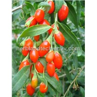 Goji P.E., Barbary Wolfberry Fruit P.E