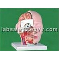 Head model, half dissection
