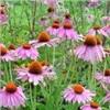 Medicinal herbal Echinacea extract(Polyphenol)
