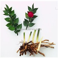 Ruscus aculeatus Extract/ Butcher's Broom Extract