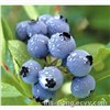 High Quality Blueberry P.E.-Anthocyanin 25%