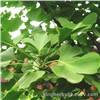 Kingherbs Offer Ginkgo Leaf Extract