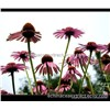 Echinacea purpurea extract polyphenol 4% for veterinary pharmaceuticals  & Feed Additives
