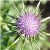Milk Thistle extract & 80% Silymarin