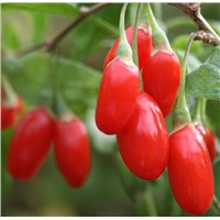Goji(Wolf) Berry Powder-Polysaccharides