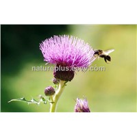 Natural Organic Milk Thistle Extract, high purity Silymarin