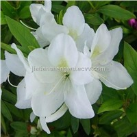 High quanlity and lowest white lily extract