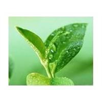 High quality Green Tea Extract, Tea Polyphenols40%-98%HPLC