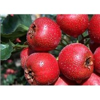High quality Hawthorn Fruit Extract, Flavone 2%-50%HPLC