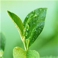 factory price egcg green tea