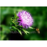 Milk Thistle P.E Extract Silymarin