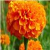 Organic xanthophyll marigold flower extract  lutein