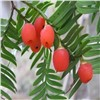 OEM product taxus chinensis extract paclitaxel