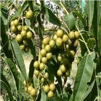natural Berberine Hydrochloride