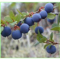 Bilberry Extract---New Mstar---Simin