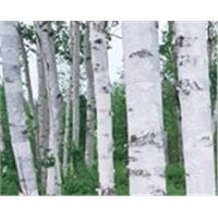 Birch bark extract