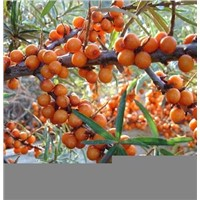 Seabuckthorn Fruit